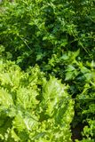 Fresh parsley and lettuce Stock Photography