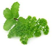 Fresh parsley with mint leaves Royalty Free Stock Photo