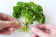 Fresh Parsley / Petroselinum crispum Royalty Free Stock Image