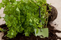 Fresh parsley plant Stock Images