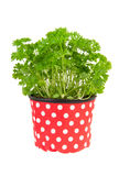 Fresh parsley plant Stock Photography