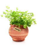 Fresh parsley plant Royalty Free Stock Photos
