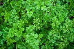 Fresh parsley plant Stock Images