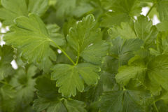 Fresh parsley Stock Photo