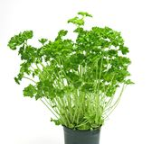 Fresh parsley on a pot Stock Images