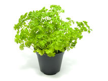 Fresh parsley on a pot Stock Image
