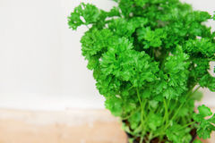 Fresh Parsley in a Pot Royalty Free Stock Image