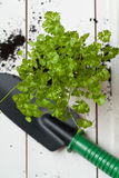 Fresh parsley ready to be planted Stock Images
