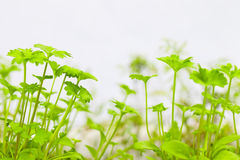 Fresh parsley sprouts Royalty Free Stock Image