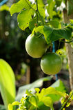 Fresh passion fruit. In the garden Stock Photos