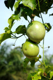 Fresh passion fruit. In the garden Stock Photo