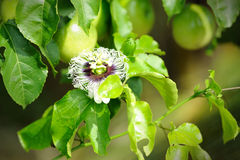 Fresh passion fruit in the garden. Close up of Fresh passion fruit and flower in the garden Stock Images