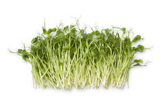 Fresh pea shoots. On white background Royalty Free Stock Images