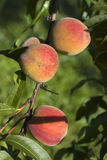 Fresh peach. On the tree in the morning light stock photography