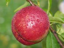Fresh peach after rain. On a tree royalty free stock photo