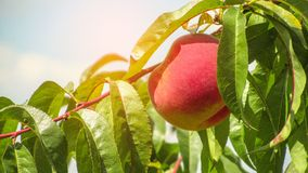 Fresh peach tree. Fresh peach growing among green leaves on a sunny day royalty free stock photos