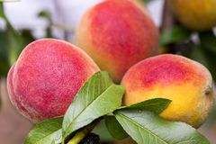 Fresh peach tree. Peaches ripe for picking in a peach orchard. Ripe sweet peach fruits growing on a peach tree branch.  royalty free stock photo
