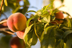 Fresh Peach on the Vine Stock Images