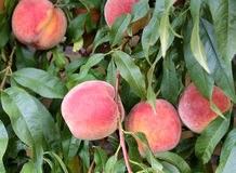 Fresh peaches on a branch with green leaves Royalty Free Stock Photography