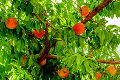 Fresh peaches ripening on the orchard tree Royalty Free Stock Images