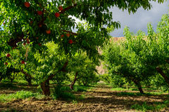 Fresh peaches ripening on the orchard tree Stock Photo