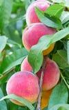 Fresh peaches on tree Royalty Free Stock Photos