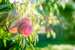 Fresh peaches on a tree in summer Royalty Free Stock Photography