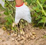 Fresh Peanuts Stock Photos
