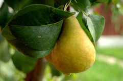 Fresh pear Royalty Free Stock Image