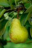 Fresh Pear. Close-up of a pear in a tree Stock Images