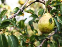 Fresh pear and green leafs in pear tree Stock Photography