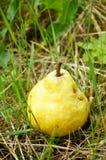 Fresh pear Stock Photo