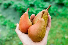 Fresh pear in hand. Organic Healthy Fruit royalty free stock photos
