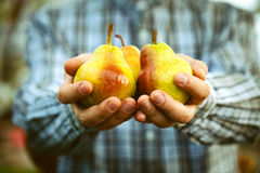 Fresh pear Stock Photography