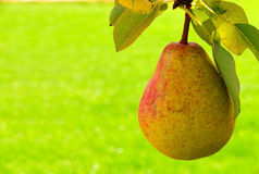 Fresh pear . Royalty Free Stock Image