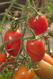 Pear tomatoes on branch Royalty Free Stock Photo