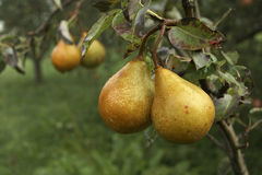 Fresh Pears. A pair of fresh ripe pears hanging on a tree Stock Images