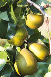Fresh pears on the tree Royalty Free Stock Photos