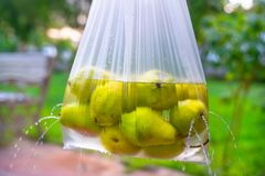 Fresh pears washed in water royalty free stock photography