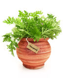 Fresh pelargonium plant Stock Photo