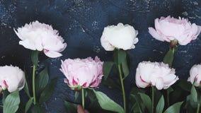 Fresh peonies on blue. Hand arranging Fresh peony flowers on dark blue background stock footage