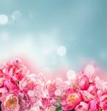 Fresh peony flowers Royalty Free Stock Images