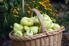 Fresh pepper fruit from vegetable garden royalty free stock photo