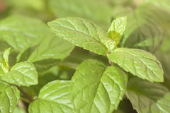 Fresh pepper mint. Stock Image