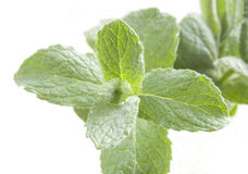 Fresh peppermint Royalty Free Stock Image