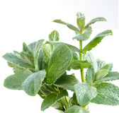 Fresh peppermint Stock Images