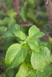 Fresh peppermint Royalty Free Stock Photos