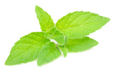 Fresh Peppermint Herb Royalty Free Stock Photos