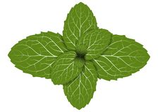 Peppermint leaf. Fresh peppermint leaf. mint leaves or herb plant isolated on white background. foliage vector Royalty Free Stock Image