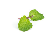 Fresh peppermint  leave. Royalty Free Stock Photo